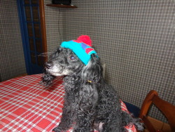 Tobie , chien Caniche