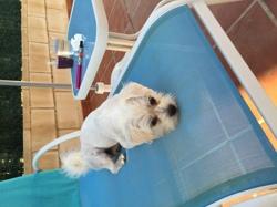 Toby, chien Bichon maltais
