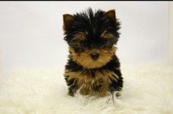 Toby, chiot Yorkshire Terrier