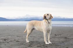 Toby, chien Lévrier espagnol
