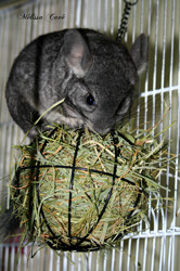 Dobby, rongeur Chinchilla