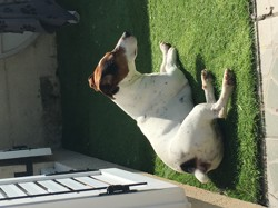 Toby, chien Jack Russell Terrier