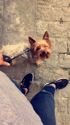 Toby, chien Yorkshire Terrier