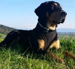 Toby, chien Rottweiler