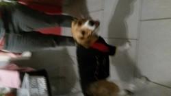 Toby, chien Beagle