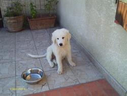 Toby, chien Chien de montagne des Pyrénées