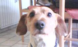 Toby, chien
