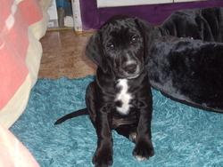 Toby, chien Jagdterrier