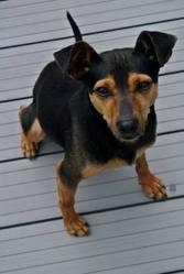 Toby, chien Pinscher