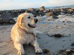 Toby, chien Golden Retriever