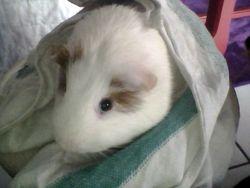 Toby, rongeur Cochon d'Inde