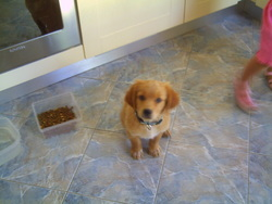 Toby, chien Golden Retriever