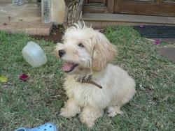 Tobby, chien Bichon havanais