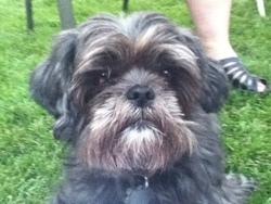 Toby, chien Shih Tzu