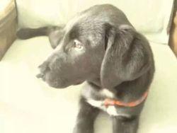 Toby, chien Labrador Retriever