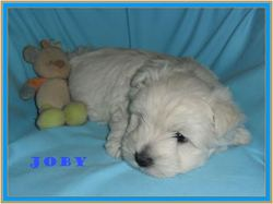 Toby, chien West Highland White Terrier