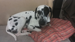 Toby, chien Dalmatien