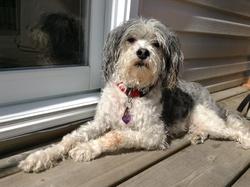 Tobyy Au Paradis, chien Caniche