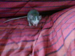 Toc-Toc, rongeur Rat
