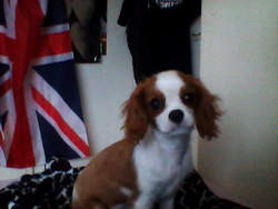 Toffee, chien Cavalier King Charles Spaniel