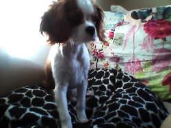 Toffee, chien Cavalier King Charles Spaniel