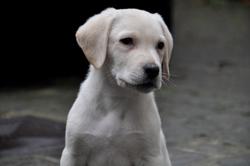 Toffee, chien Labrador Retriever