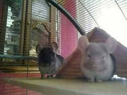 Toffee, rongeur Chinchilla