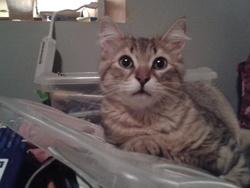Toffu , chat Gouttière