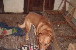 Toffy, chien Berger allemand