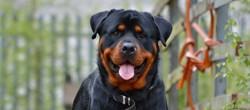 Togo, chien Rottweiler