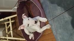 Tokyo, chien Bull Terrier