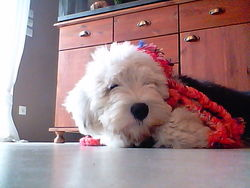 Ipa, chien Bobtail