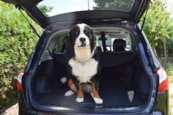 Tom, chien Bouvier bernois