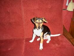 Tom , chien Jack Russell Terrier