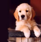 Tom, chien