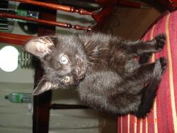 Tom, chat Européen