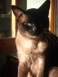 Tom, chat Siamois