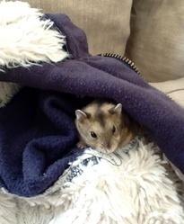 Tom, rongeur Hamster