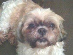 Tom, chien Shih Tzu