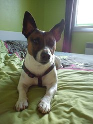 Tom, chien Jack Russell Terrier