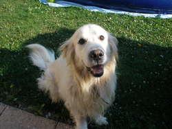 Tom, chien Golden Retriever