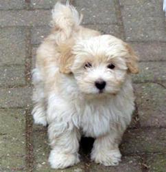 Tom, chien Bichon havanais