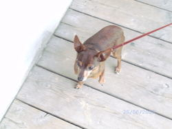Tom, chien Pinscher