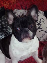 Tomeo, chien Bouledogue français