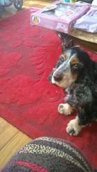 Tomette, chien Cocker anglais