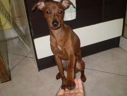 Tomi, chien Pinscher