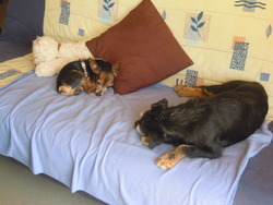 Tommy, chien Pinscher
