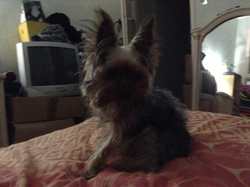 Tommy, chien Yorkshire Terrier