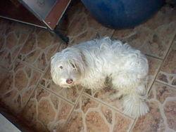 Tommy, chien Grand Griffon vendéen