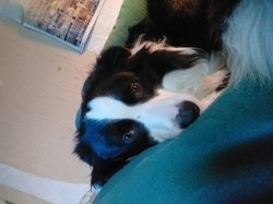 Tommy, chien Border Collie